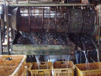Kerang being washed